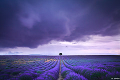 Just One - Valensole (J.G. Damlow) Tags: france lavender explore francia lavanda valensole explored bestcapturesaoi flickrstruereflection1