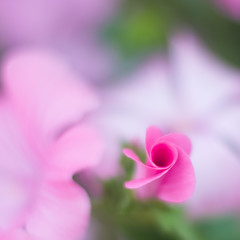 Softness (DomiKetu) Tags: auto pink flowers flower green nature wednesday happy iso100 nikon soft dof bokeh f14 twist mount 55mm m42 shallow revuenon hbw d5100