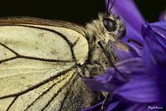 Piéride de l'aubépine 2 (StephAnna :-)) Tags: white butterfly aporia crataegi blackveined stephanna