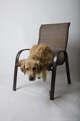 Caught (Brett I Matthews) Tags: dog goldenretriever utah chair nikon canine chester saltlakecity nikkor lightroom 18105mm d7000