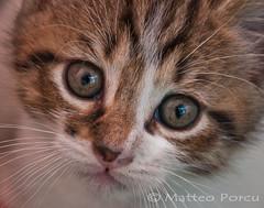 Miao! (PicM@) Tags: animals cat felino miao gatto domestici animali micio