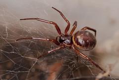 Rabbit Hutch Spider. (Tony Brierton) Tags: macro spiders arachnids araneae falseblackwidow steatodabipunctata