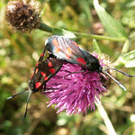 "Six Spot Burnet Moth <a style=""margin-left:10px; font-size:0.8em;"" href=""http://www.flickr.com/photos/53847493@N07/7631239912/"" target=""_blank"">@flickr</a>"