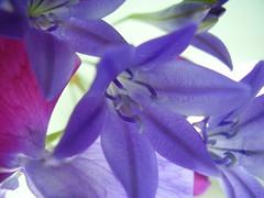 July2012 204 Triteleia and sweet pea (monica_meeneghan) Tags: summer flower coth macroelite flowersorinsectsmacro mamasbloomers monicameeneghan