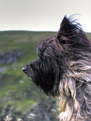 Poppy is beautiful (Ipple Pen) Tags: dog poppy dartmoor cairn cairnterrier