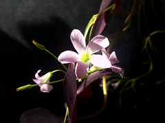 ผีเสื้อราตรีม่วง, Indian park (som300) Tags: plant flower blossom motorola zn5 oxalis