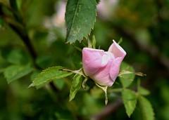 Rosa Canina (rustyruth1959) Tags: pink plant flower green nature leaves rose petals nikon dof outdoor bloom bud nikkor dogrose nikond3200 rosacanina