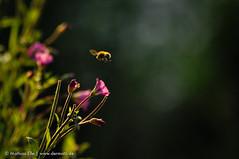 Hummel im Landeanflug (dermatz_DE) Tags: hummel bumblebee blte pflanze unschrfe