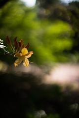 Azalea (tonybill) Tags: flowers gardens miscellaneous nikkorsc50mmf14 rhs rhswisley sonya7 sunshine surrey wisley bokeh