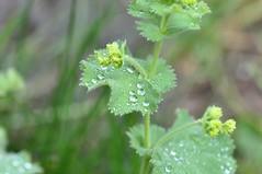 Raindrops (Tynan Phillips) Tags: rain raindrop raindrops drop drops water liquid plant plants macro nature dew flora green nikon nikond90 d90 dslr denmanisland bc britishcolumbia canada canadian