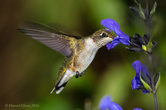 Ruby-throated Hummingbird feeding (danielusescanon) Tags: rubythroatedhummingbird wild archilochuscolubris brooksidegardens maryland birdperfect animalplanet feeding flash