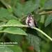 Snowcap, Microchera albocoronata