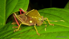 Pretty grasshopper, Cyphacris decorata, Acrididae (Ecuador Megadiverso) Tags: acrididae amazon cyphacrisdecorata lizanes orthoptera puyo shorthornedgrasshopper andreaskay ecuador
