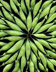 57557.02 Baptisia australis (horticultural art) Tags: horticulturalart baptisiaaustralis baptisia falseindigo seedpods starburst