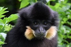 Malli @ Dou la Fontaine 11-05-2016 (Maxime de Boer) Tags: goudwanggibbon gibbon malli aap monkey bioparc dou la fontaine zoo france animals dieren dierentuin crested gibbonnomascus gabriellae goudwanggibbonyellowcheeked