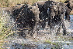 DT-130 (Photography by Brian Lauer) Tags: botswana dumatau africa safari safaris wildlife travel nikonphotography nikon lion elephant hippo fisheagle saddlebilledstork piedkingfisher lilacbreastedroller wilddog