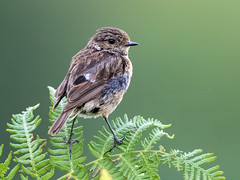 Stonechat (Juvenile) (coopsphotomad) Tags: bird chats stonechat wildlife nature mull scotish bracken perch britain britishwildlife scottishwildlife canon 500mmf4 7d 7dmkii extender explored explore