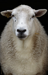 Look at my thick woolly coat (kaffealskare) Tags: sheep fr u coat portrait animal djur portrtt hertsmiljgrd lule