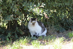 Felis catus (mkamelg) Tags: canon eos 5ds rokinon 85mm ae85mc if umc f14 felis catus cat outdoor animal