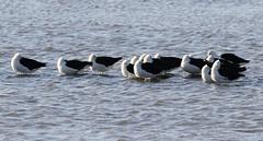 Andean Avocets (Med Gull) Tags: zegrahm chile peru cruise expedition wildlife southamerica atacama sanpedrodeatacama lakechaxa lake salt saltpan andeanavocet avocet