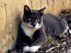 Montrer pattes blanches (Noemie.C Photo) Tags: chat cat gato animal pet gourdon lot france cute mignon mur wall ground sol allong gris grey blanc white regard look