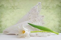 Pure & Sweet (njk1951) Tags: spring innocence sweet pure purity flower tulip white whitetulip whitehandkerchief antiquehandkerchief simplicity green