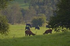 Takie widoki tylko u Biesa i Czadw.... ubry i jelenie... (Fotografia przyrodnicza - moje hobby. Zapraszam...) Tags: jele szlachetny cervus elaphus red deer byk byki bieszczady rykowisko 2016 wrzesie gody jeleni jelenie anie ania poroe korona las lasy nature wild nikon d7100 tamron 150600 vc triopo gt bies czady fotografia przyrodnicza ukasz drobot przyroda ubr ubry jesie bieszczadzki park narodowy poranek mga
