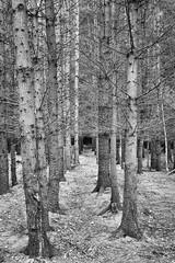 Trees (Barry Carr) Tags: fujifilmx100s trees blackandwhite nature fuji angus bw x100s scotland crombiecountrypark