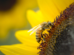 my 1st bee closeup shot :) (JohnNguyen0297) Tags: closeup sunflower flower bee yellow bright extensiontube johnnguyen john nguyen johnnguyen0297 ilce6000 a6000 50mm stamens stamen