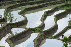 Rice (Pillg) Tags: color nikon d7100 rice fileds terraces champs agriculture rizire couleur graphique vert culture bali jatiluwih