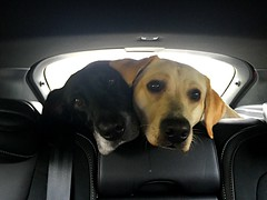 Are we nearly there! (21mapple) Tags: vividstriking labrador golden black car dogs