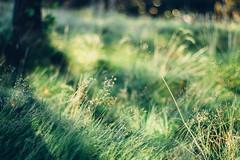 Green Dream (freyavev) Tags: grass green nature bokeh zelena tree 50mm niftyfifty mikasniftyfifty vsco depthoffield dream dreamy greendream sweden outdoor sverige gothenburg göteborg lindholmen