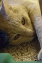 _DSC6750 (skullyarts) Tags: cappuccino kitty cat photography photographer noedit animal animals art tabby