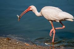 Let's Go Fishin' (ac4photos.) Tags: ibis fish prey nature wildlife animal bird florida wetlands naturephotography wildlifephotography animalphotography birdphotography nikon d300s tamron ac4photos ac