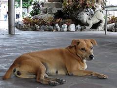 Thailand - Street dog (ashabot) Tags: bangkok thailand animals critters citylife dogs dog animal streetdog homeless
