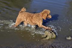 2716 (Jean Arf) Tags: ellison park dogpark rochester ny newyork september autumn fall 2016 poodle dog standardpoodle gladys water wet pond play