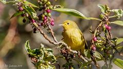 Yellow Warbler (Bob Gunderson) Tags: california elkglenlake goldengatepark northerncalifornia sanfrancisco