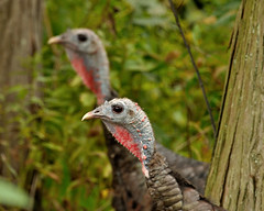 Double you Pleasure...... (l_dewitt) Tags: turkeys turkey naturephotos natureimages wildturkeyimages wildturkey wildturkeyphotos wildturkeys nationalwildlifemagazinephotogrouppool twosome twoforone