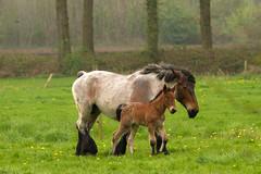(dewollewei) Tags: horse paard diepenheim