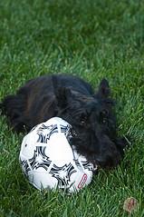 "ODC-Stuck (Laurie2123) Tags: ball puppy maggie scotty scottie deflatedball scottiepuppy ""nikond300"" odc2 ourdailychallenge ""ourdailychallenge"" ""nikkor28300mm"" laurie2123 ""scottishterrier"" ""scottiedog"" ""scottydog"" ""maggiemae"" ""scottieterrier"" ""blackscottie"" odcstuck"