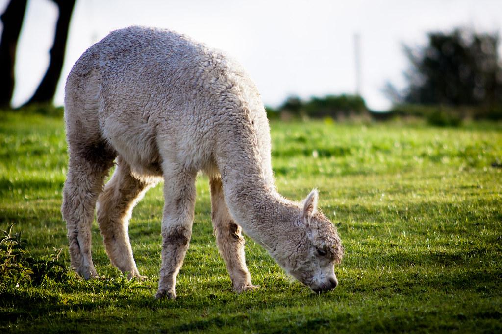 17/52 - Alpaca Kid