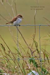 REBASH 0010 (bryanjsmith62) Tags: birdsofsweden lanidae shrikes laniuscollurio redbackedshrike ©bryanjsmith
