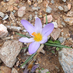 Crocus, Mt. Ochi (diffendale) Tags: mountain plant flower flora blossom greece bloom ochi evia  evvia  euboia euboea         crocustournefortii