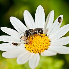 Explosión de vida (dagilmar) Tags: flower macro 35mm spring andalucía spain olympus bugs daisy córdoba viana palacio zd uro dagilmar