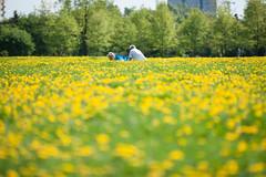 Immersed (Filip Federowicz (filu)) Tags: flowers grass yellow zeiss bokeh sony poland warsaw a900 sal135f18z ゾナー ツァイス cz135 cz135mm sonnar13518za zeiss135 filipfederowicz