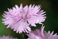 Il garofano sotto la pioggia (STE) Tags: pink flower macro wet photography photo droplets foto photographer photos rosa carnation fotografia fiore stefano fotografo gocce trucco tamron90 garofano bej zush stefanotrucco