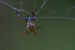 Crab Spider in Costa Rica (mikebaird) Tags: spider costarica getty gettyimages tenorio mikebaird 03may2012