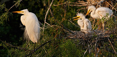 Waiting for Food.  Great Egrets at Smith Oaks Rookery in High Island, Texas (Let there be light (Andy)) Tags: birds texas egret rookery nesting highisland texasbirds houstonaudubon uppertexascoast smithoaks slbnesting