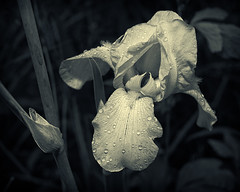 yellow iris water drops (loco's photos) Tags: flowers iris blackandwhite bw flower nature water monochrome rain yellow droplets drops pentax dew kr silverefex2 dal3524
