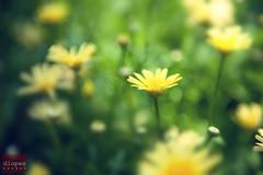(dencioteks/D. Lopez) Tags: flower yellow daisy longwoodgardens